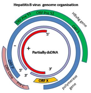 Genoma dell'HBVirus